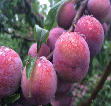 果树苗批发 风味皇后 青脆李 适合盆栽的李子苗 当年结果易成活