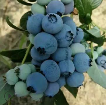 【蓝莓苗批发】1-3年蓝丰 都克 公爵 莱克西 哪里有卖 蓝莓苗价格