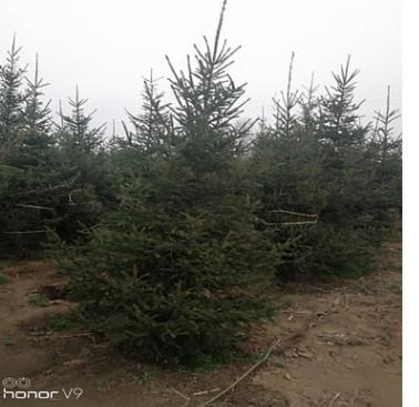 基地常年批发 精品云杉树苗 圣诞树 一到三米 价格优惠