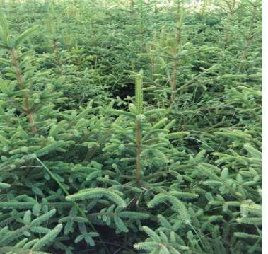 哪里有卖 云杉树苗 规格齐全 云杉树苗价格多少 发货及时