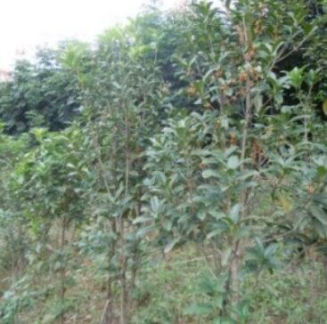 桂花(朱丹桂,2-3公分)