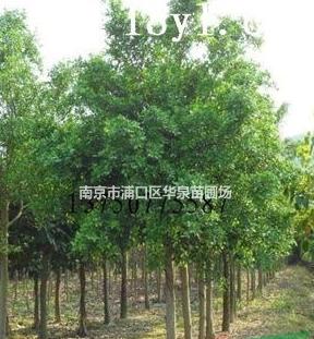 低价供应重阳木