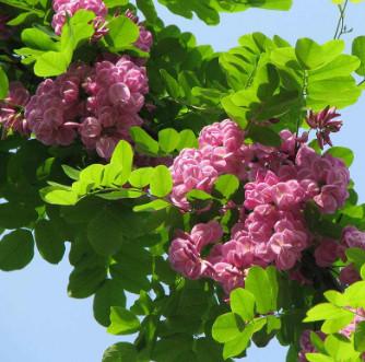 大型基地供应香花槐 提供种植经验 现场看苗 绿化庭院树香花槐