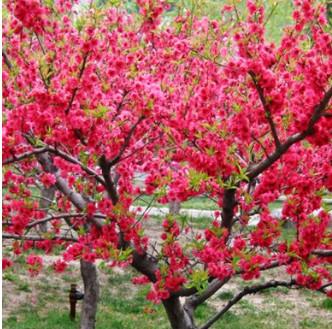 基地直销红叶碧桃 多年种植经验 易成活 带土球发货红叶碧桃
