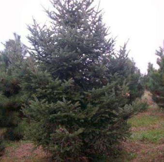 苗圃批发出售云杉 品种纯易成活土壤适应强 耐旱 云杉
