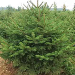园艺场批发云杉多年种植经验地栽云杉品种纯易成活枝条健壮云杉