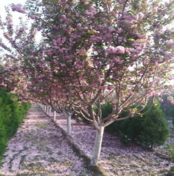 直径12公分高杆樱花树 开白花的日本早樱 晚樱 各种规格樱花