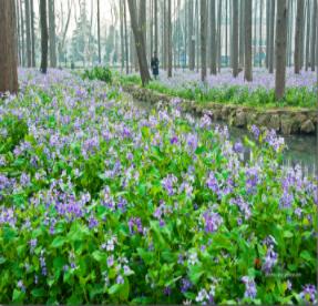 焦作草种-为您推荐优质二月兰花卉种子