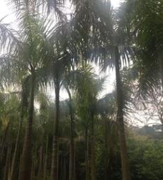 基地直销大王椰子 精品园林绿化行道树 风景树
