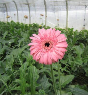 非洲菊种苗四季常开,各色花苗鲜切花种苗批发