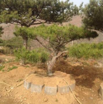 观赏松 园林种植 批发销售