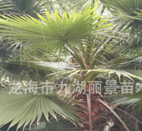 广东华棕基地 福建老人葵批发 漳州华盛棕榈