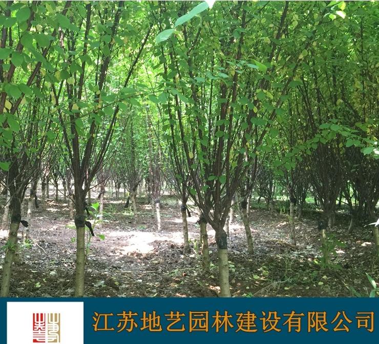 供应榆叶梅 江苏榆叶梅价格产地 江苏地艺园林苗圃基地