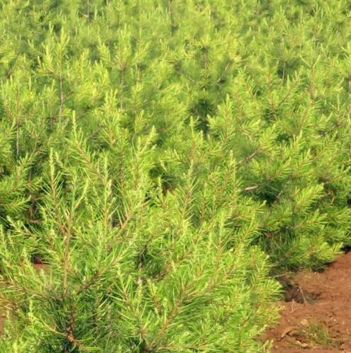 园林苗木白皮松基地直发