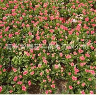 花卉基地直销大长寿 景观绿植盆栽长寿花 室内盆栽大量批发