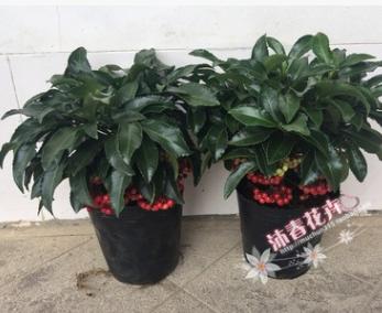 沐春富贵籽--基地批发 新品种矮富贵籽 高档年宵花卉 35cm高A货