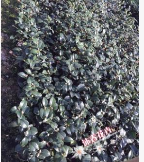 克瑞墨大牡丹 精品进口茶花 芳香型茶花 红香茶 16杯20冠带花苞