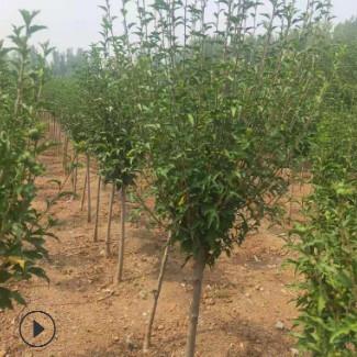 绿化苗基地售树形优美木槿树 木槿花工程绿化街边园林木槿花树苗