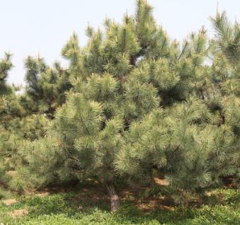 常年供应绿化松树造型松树 四季常青胸径4-8公分造型油松黑松