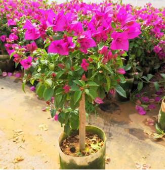 三角梅种苗昆明基地直批 园林绿化景观树盆栽绿植 园林花卉批发