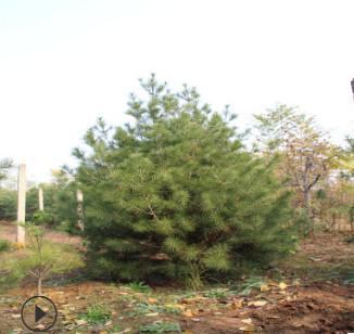 苗圃现货批发大量白皮松根系发达好管理白皮松行道绿化工程价格低