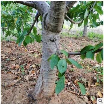 山东樱桃树价格 批量现货 现挖新鲜矮化嫁接美早红灯樱桃
