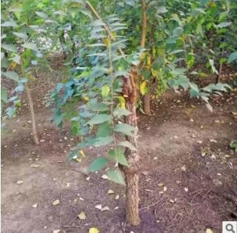 榆叶梅树苗基地直供 质量高易成活价格低绿化观赏榆叶梅