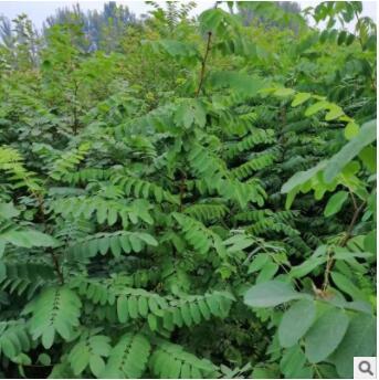 工程绿化刺槐树 多规格多型号现挖新鲜带土移栽行道树刺槐