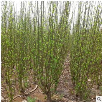 木槿树苗批量出售 基地直销价格低花镜种植观赏开花绿化苗木槿