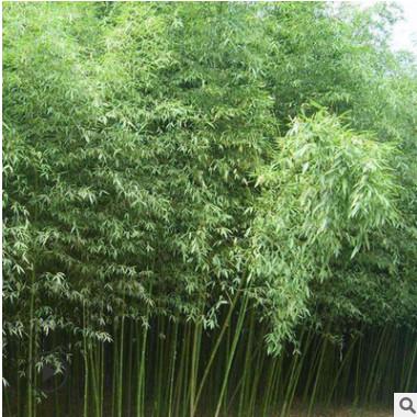 苗圃批发优质竹子 青竹 紫竹 金镶玉竹 品种规格齐全 四季常青
