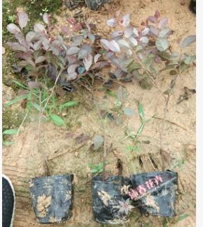 沐春花卉--供应红花继木盆栽苗 高杆红花继木球 绿化工程苗木