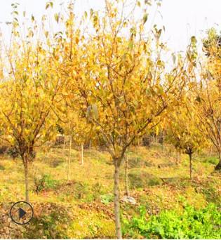 庭院绿植腊梅 耐寒腊梅树 园艺植物 园林小区绿化树木批发