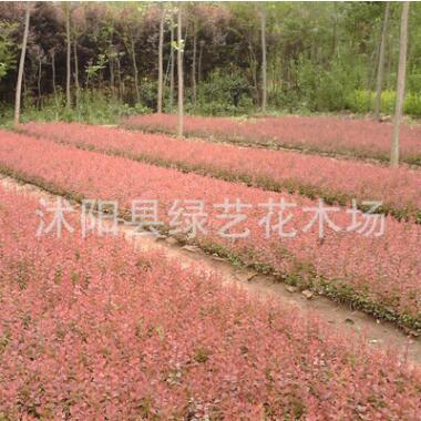 基地批发红叶小檗小苗红叶小檗球盆栽小檗园林绿化工程苗量大从优