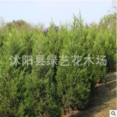 基地蜀桧柏树松柏树直供 大量现货工程绿化树侧柏塔柏树供应