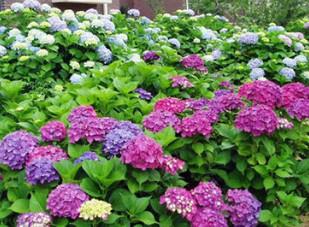 【基地供应】地被绿植盆栽八仙绣球花 别名绣球花 变色花八仙绣球