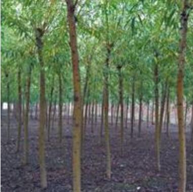 金丝垂柳产地-河北苗圃价格