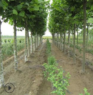 【基地直销】法国梧桐树批发绿化工程树木6公分10公分规格全