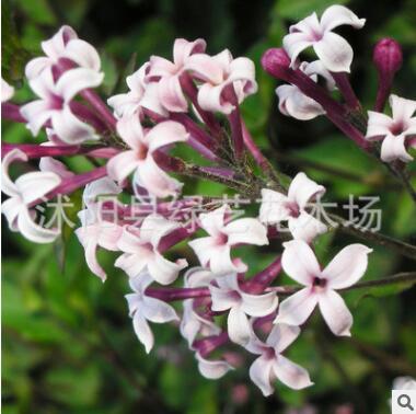 基地直销丁香花树苗植物花卉庭院四季绿植室内观花紫丁香花