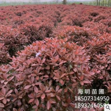 基地直销精品红叶石楠球 红叶石楠冠幅150 各种规格