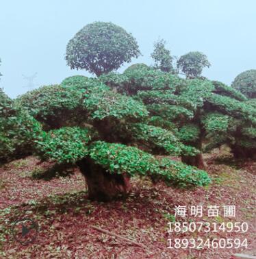 直销造型椤木石楠桩景 物优价廉 精品树形 别墅庭院绿化