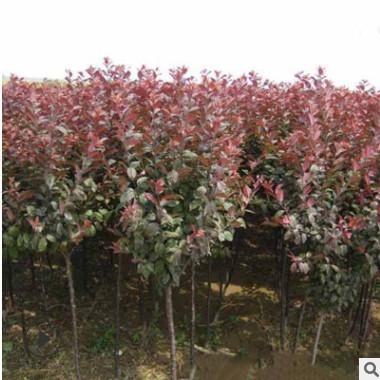 基地常年直销速生紫叶李 园林绿化苗木 紫叶李树 红叶李 品种齐全