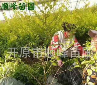 常年批发出售金叶榆(篱)建圃小苗工程苗陆地苗及杯苗
