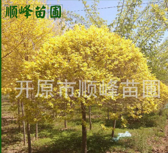 常年批发出售金叶榆球绿化工程用树小区绿化用苗品质保证