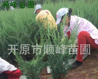 常年批发出售桧柏建圃小苗工程苗陆地苗及杯苗