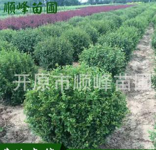 常年批发出售丁香球工程苗绿化用苗