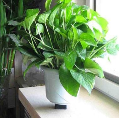 供应居家办公室内绿箩植物 装饰摆件盆栽吊兰 绿萝水培土培散苗