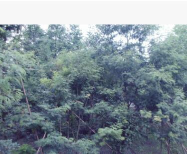 绿化苗木进口澳洲金合欢 合欢工程小苗等规格