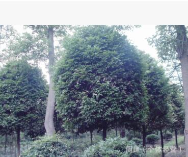 二乔木四季常绿树种天竺桂 高杆分支 矮桩地笼等规格
