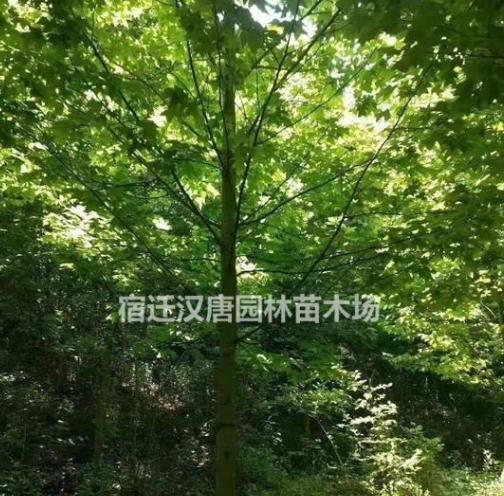 精品马褂木(鹅掌楸)