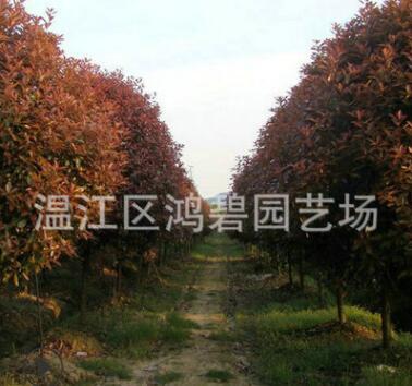 苗圃直销 红叶石楠 红叶石楠球 红叶石楠批发